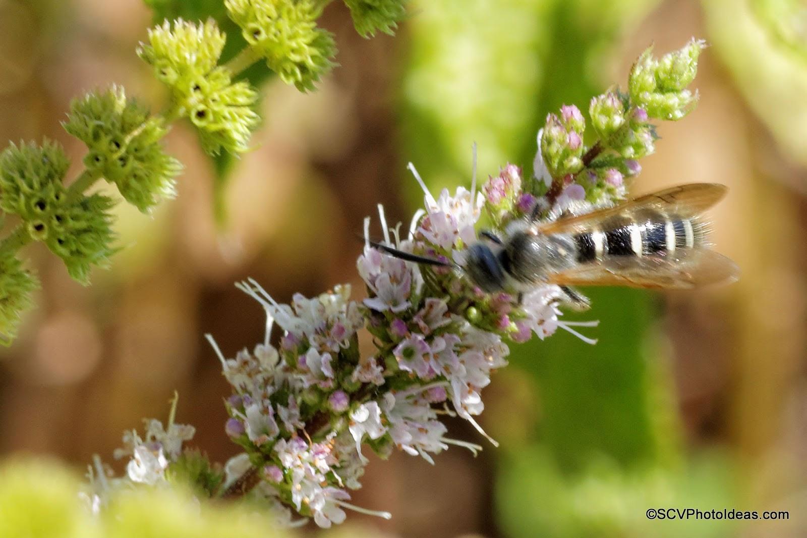 Wild bee II