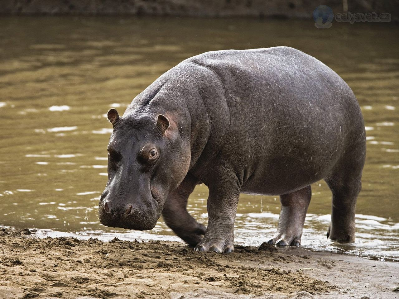 Питаются бегемоты в основном растительностью, которая произрастает по берегам водоемов