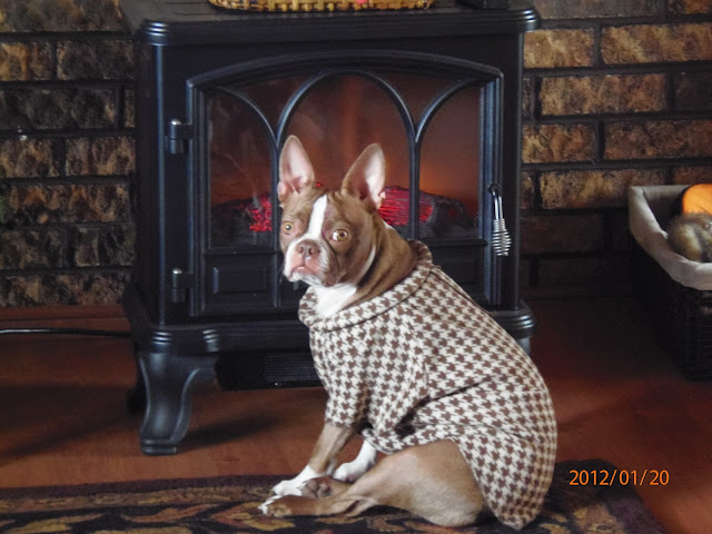 Funny Brown and White Boston Terrier Nutmeg