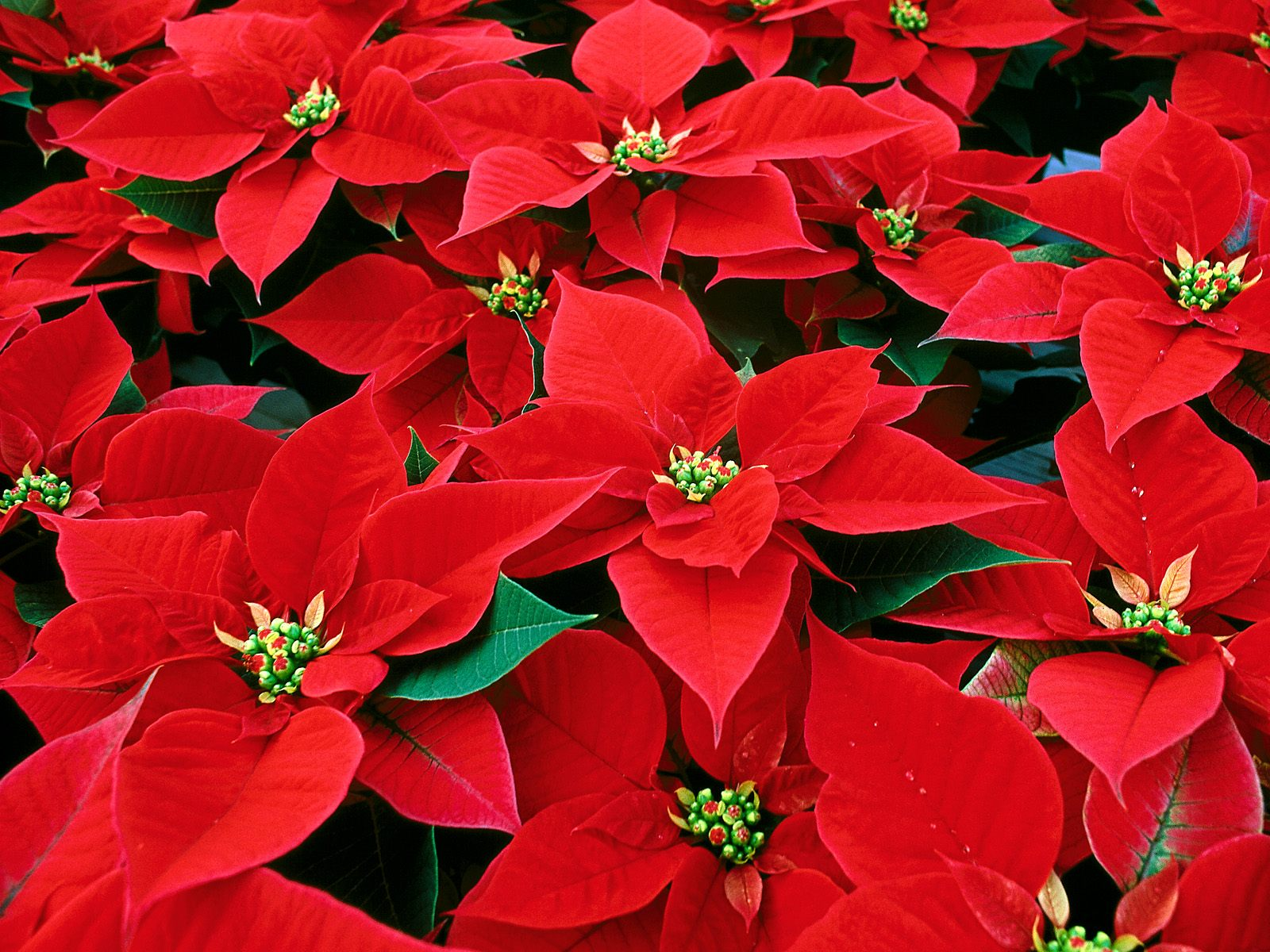 poinsettia flower christmas flower
