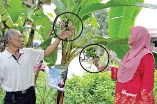 Pokok pisang lemak manis bertandan empat