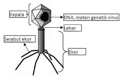 Bagian-bagian bakteriofag