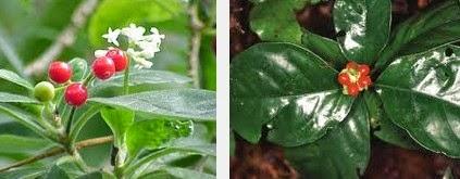 ipecac dangerous herbs