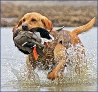 كلب صيد يصطاد البط
