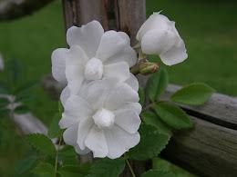 Pohjantähti-ruusu