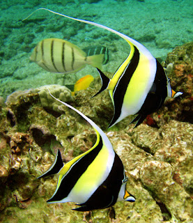 A pair of beautiful Moorish idol