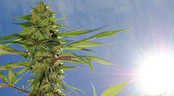 5 Top Benefits of Growing Marijuana Outdoors