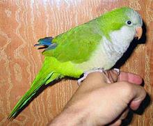 Foto burung monk parakeet