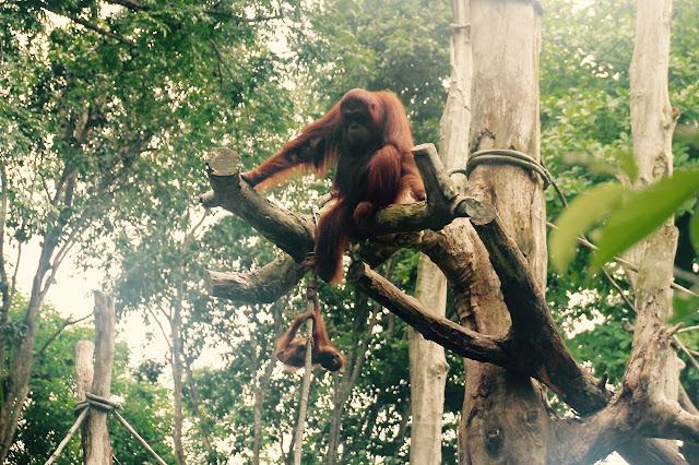 Macacos no zoológico de Cingapura