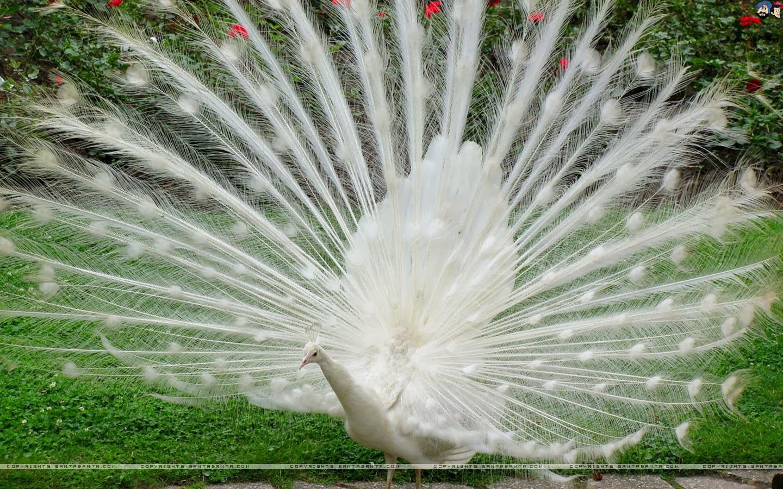Beautiful White Peacocks Wallpapers White Peacock Wallpaper