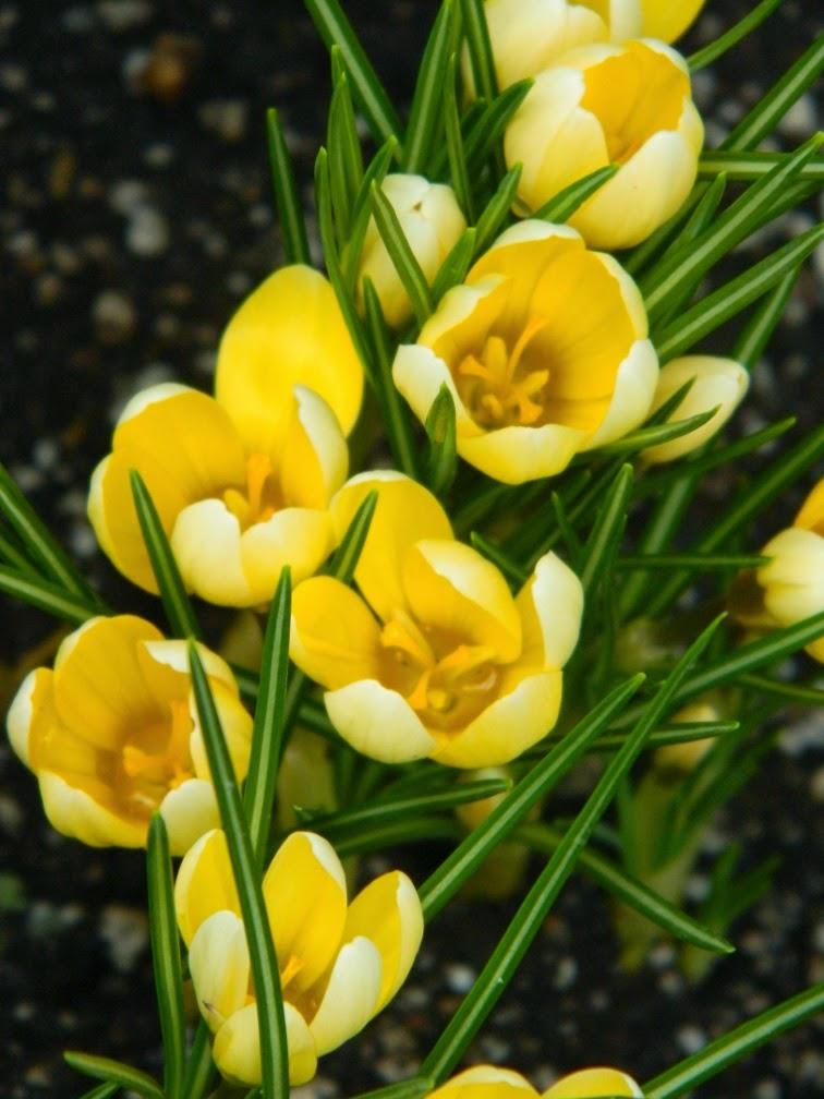 Yellow crocus Allan Gardens Conservatory Spring Flower Show 2014