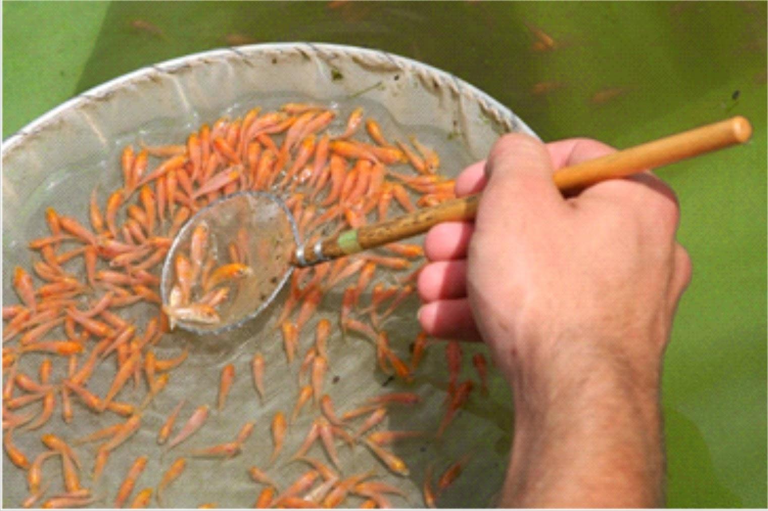 Proses pemijahan ikan koi tutorial cara budidaya for Koi 1 utama