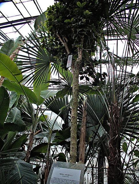 arborele de cafea gradina botanica iasi
