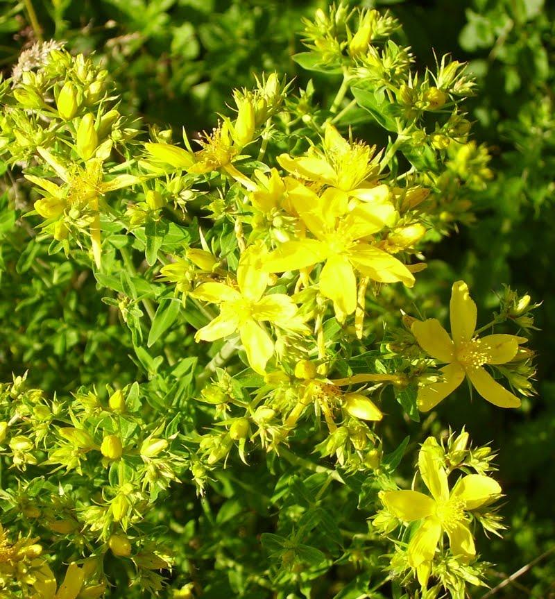 SJW flowers