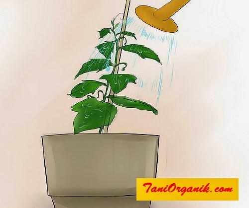 Segeralah memasang tongkat lanjaran/ajir saat tanaman mentimun mencapai tinggi 20 cm