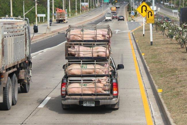 Перевозка свиней в Таиланде на пикапе