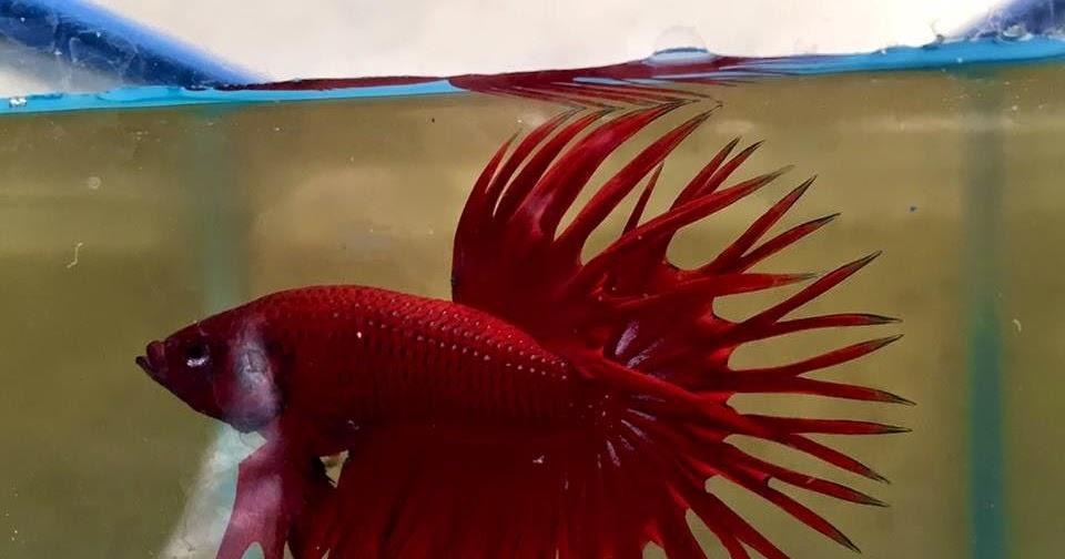 Dunia Ikan Cupang Hias: DAFTAR JUARA KONTES IKAN CUPANG HIAS PUSDAKAN ...