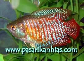 Jual Ikan Sepat Hias Mutiara