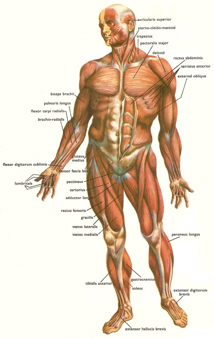 10 major muscles in human body, Muscles