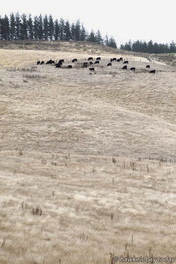 Dry farmland, paddocks, stock, off Puketitiri Rd, Poraiti, Napier, dry summer weather. photograph