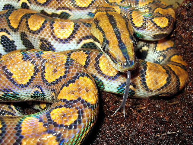 800px EpicratesCenchriaCenchria2 Amazing Colorful Snakes   Most Beautiful Venomous Snakes of the World