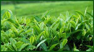 Ceylon Tea export earnings increase