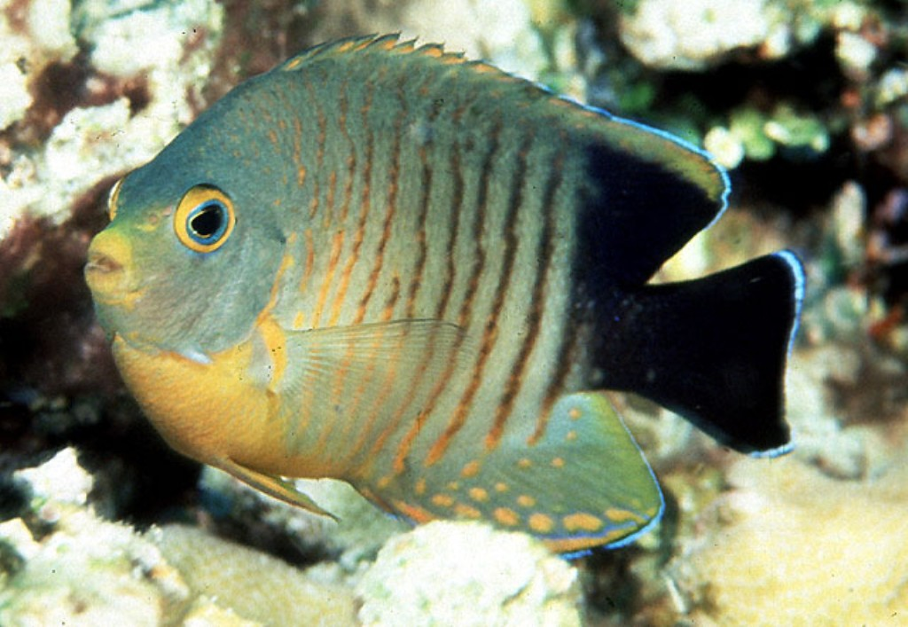 Fish Pictures: Eibli angelfish - Centropyge eibli