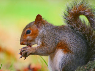 vjeverica besplatne slike pozadine za desktop