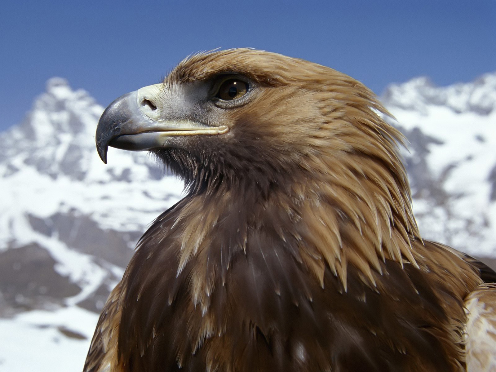 Fabulous And Amazing Eagle Wallpapers in HD For More Wallpapers