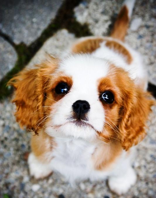 King Charles Cavalier Puppies desktop wallpaper