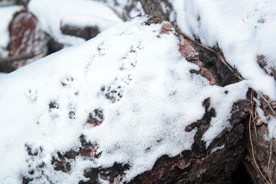 squirrel marks