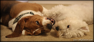 Basset and Westie wrestling