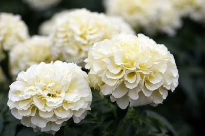 Trade my flowers the story behind white marigolds i noticed a listing on our marketplace today for white marigold seeds i thought i would share the story behind how white marigolds came to be mightylinksfo