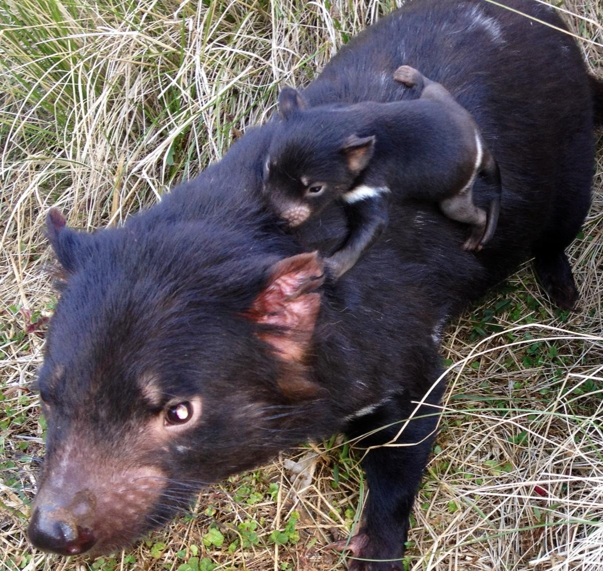 tasmanian devils Tasmanian devil lures, hobart, australia 4k likes wigston's tasmanian devil fishing lures proudly made in tasmania since 1979.