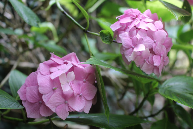 Plant profiles: Hydrangeas - Hydrangea macrophylla in our back garden