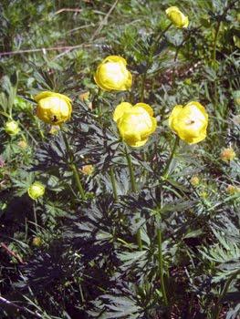 Trollius europaeus (botton d'oro)
