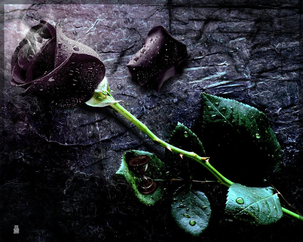Fun black rose pict black rose meaning black rose boston black rose bush black rose tattoo buy black rose black rose pictures how to make a black rose black rose lyrics buycottarizona