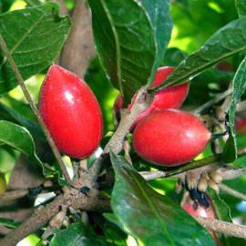 translate malakama buah simalakama to kristinas buah jawa timur yopie