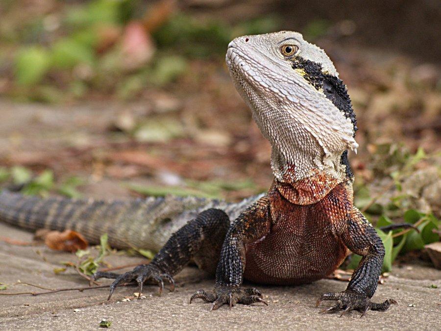 Water Dragon Animal Wildlife