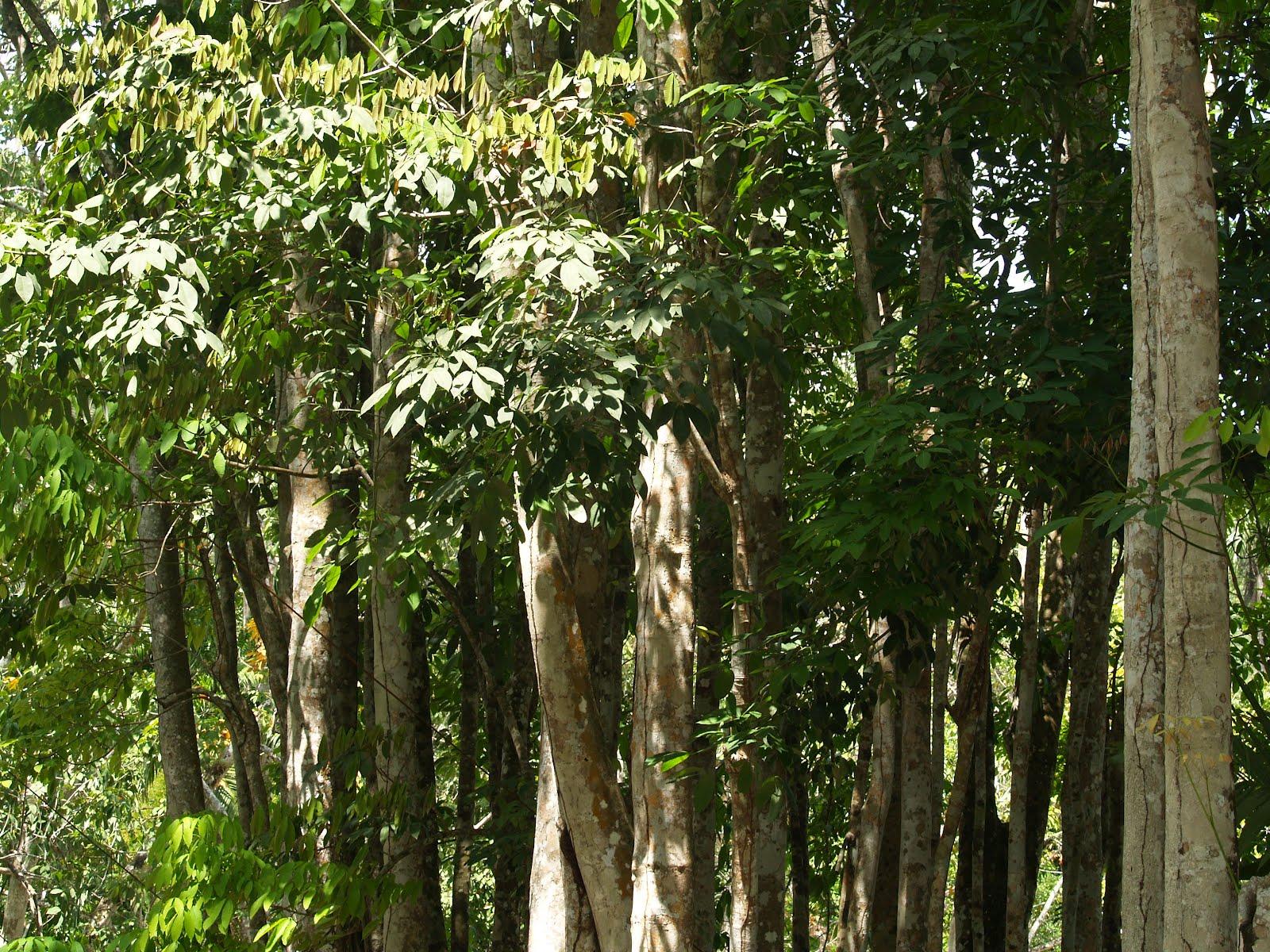 El Caucho, arbol emblemático del Estado Amazonas. | Divagancias de ...