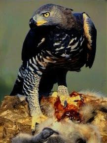 Conheça a Águia coroada: uma ave muito feroz