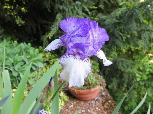 Le vieux clos petit clos fleuri - Iris ne fleurissent pas ...