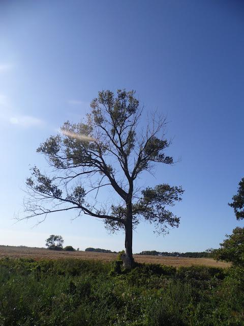 Krajobraz z samotnym drzewem pokrytym jemioła pomiędzy Gąskami a Sarbinowem w Gminie Mielno