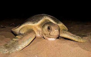 X23103 oldest  tagged sea turtle
