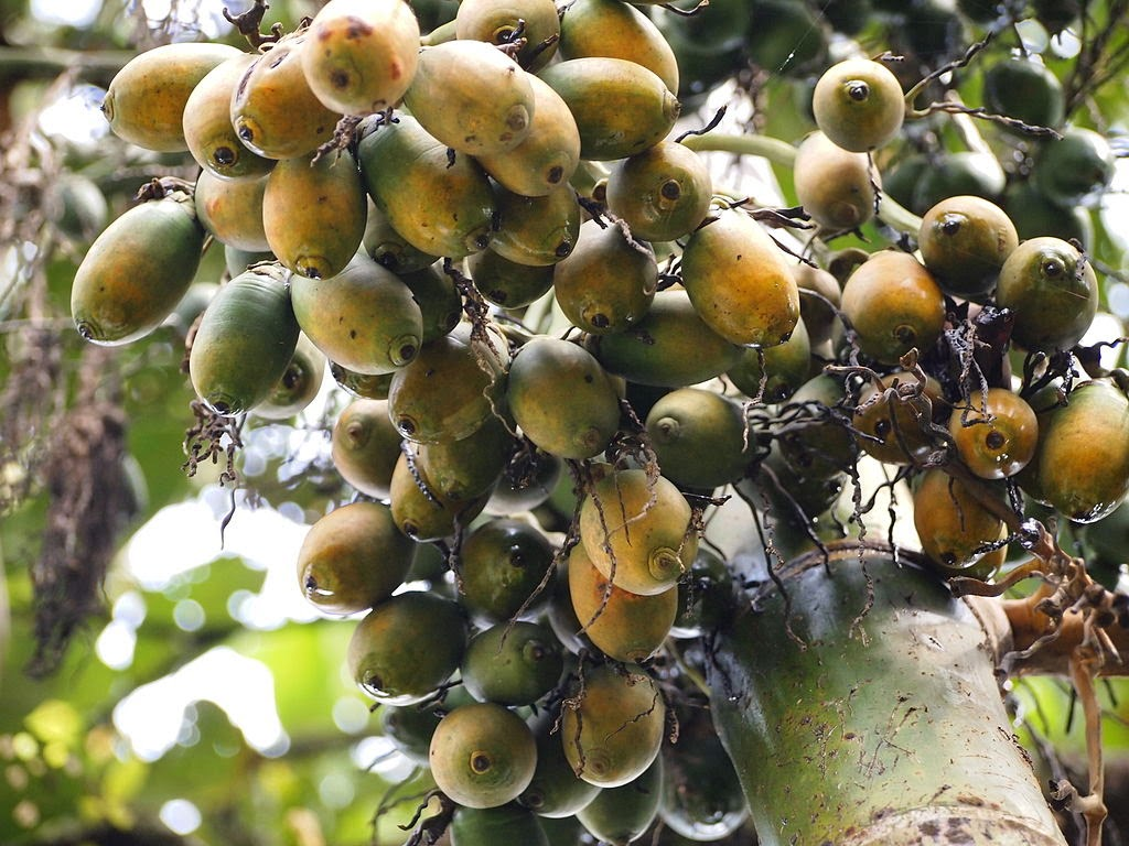 Benefits of Eating Betel Nut