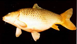 umpa jitu ikan mas empang harian