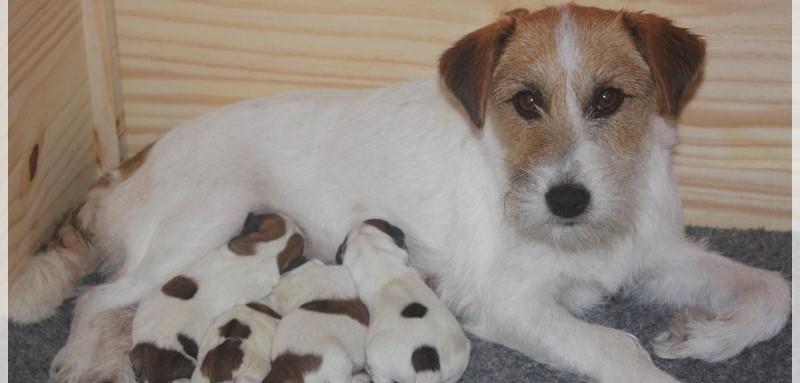 Cachorros Jack Russell Terrier Costa Artabra