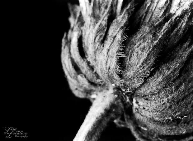macro, seedhead, Karl Blossfeldt, Lisa on Location photography, Austin, San Antonio, New Braunfels, San Marcos