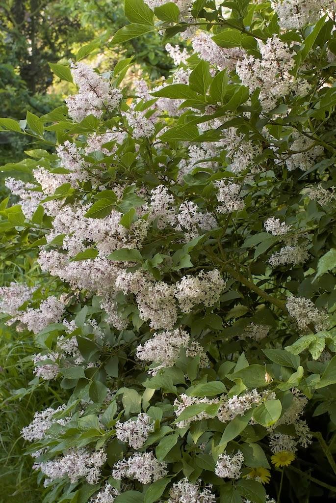 Plus de 1000 id es propos de arbustes sur pinterest soleil arbustes feuillage persistant - Arbuste persistant soleil ...