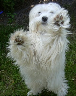 Lowchen Dog Picture